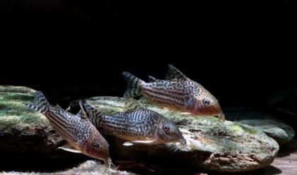 39-2-corydoras-haraldschultzi