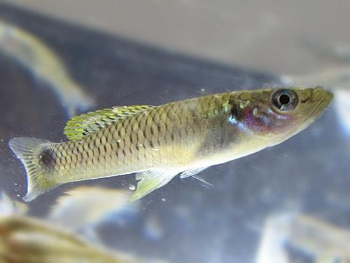 Гетерандрия бимакулата содержание размножение описание фото.