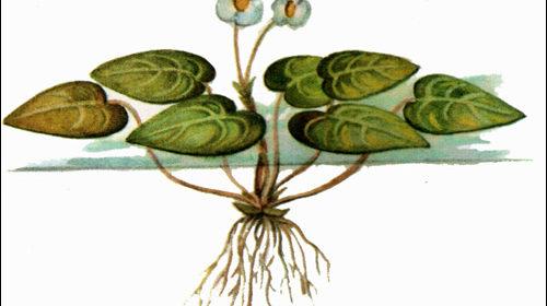 Водокрас лягушачий
