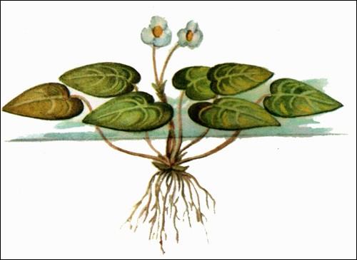 Водокрас лягушачий-аквариумное растение фото уход.