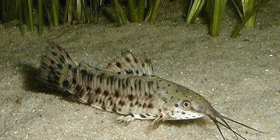 каллихтис или аквариумный сом калихт фото