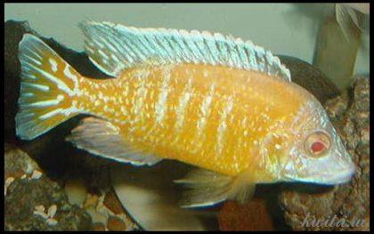 aulonocara-nyassae-albino-1111