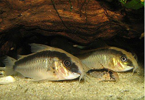 Коридорас аркуатус , Коридорас сетчатый , Коридорас Шультца — аквариумные сомики.