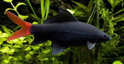 labeo-bicolor