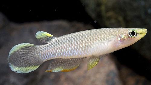 панхакс рыбка фото