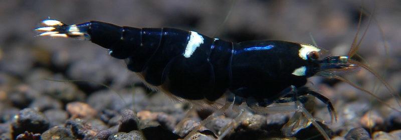 Черный Кинг Конг аквариумная креветка