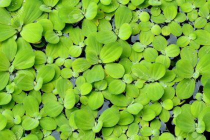 12801492-water-lettuce-or-pistia-stratiotes-stock-photo