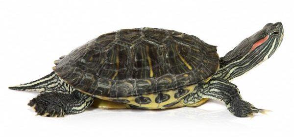Чем можно кормить красноухих черепах (маленьких и взрослых) | 280x600