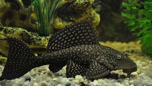 аквариумные сомики