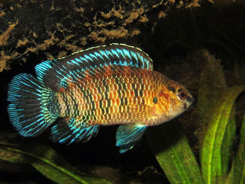 рыба хамелеон или бадис бадис фото