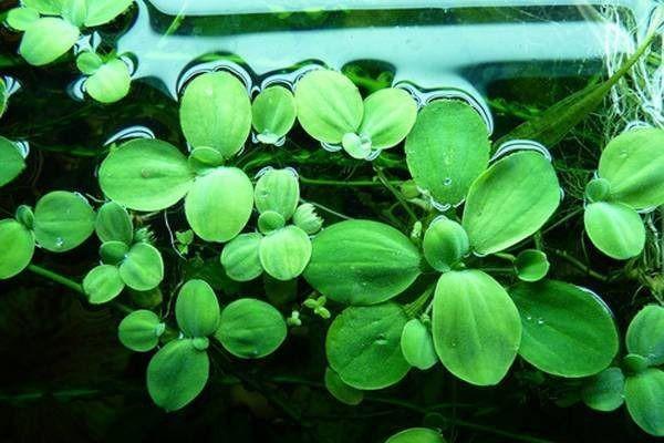 Пистия слоистая или Водный салат содержание размножение фото.