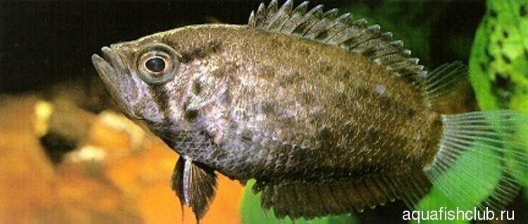 Полицентрус или Рыба обрубок содержание разведение совместимость.