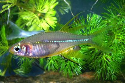 72c-marosatherina-ladigesi-quelle-frank-schafer-fa-aquarium-glaser