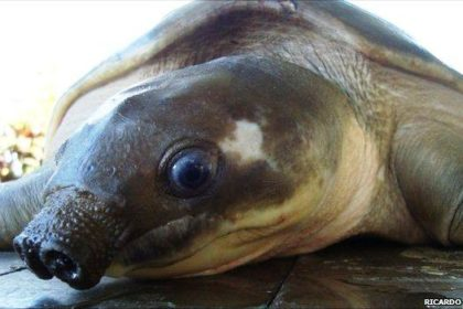 Двухкоготная свинорылая водная черепаха