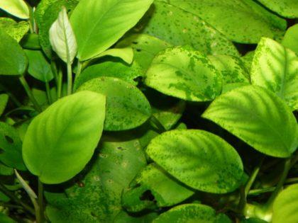 akvariumnye-krevetki-ksenokokus-v-akvar