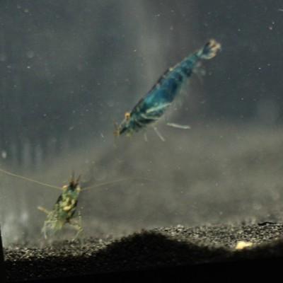 blue-berry-shrimp-3