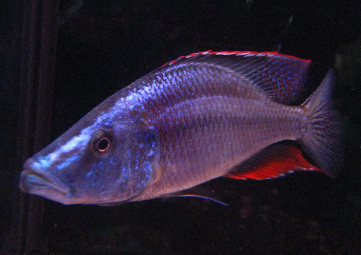 Цихлида длиннорылая рыба нож