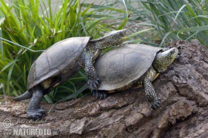 european-pond-turtle-132814