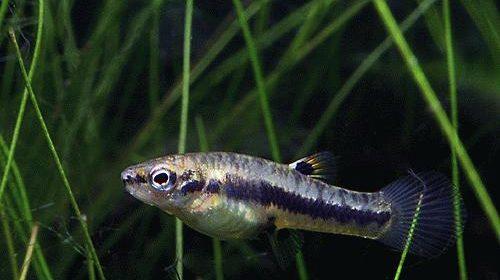 Формоза рыбка