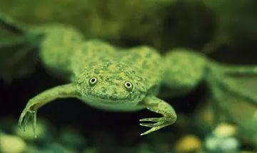 Разведение аквариумных лягушек