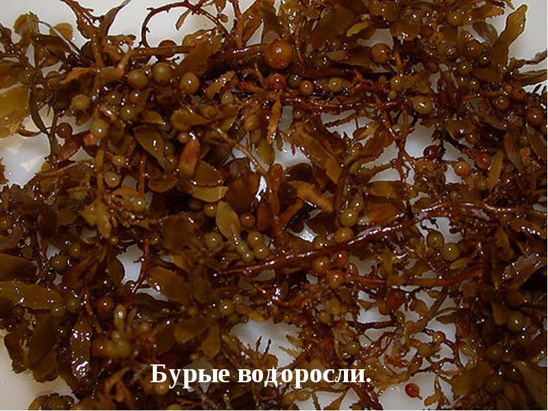 бурые водоросли фото