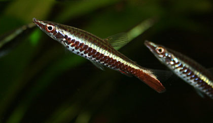 nannostomus_eques2