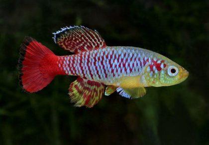 notobranhius-gjuntera-nothobranchius-guentheri_2