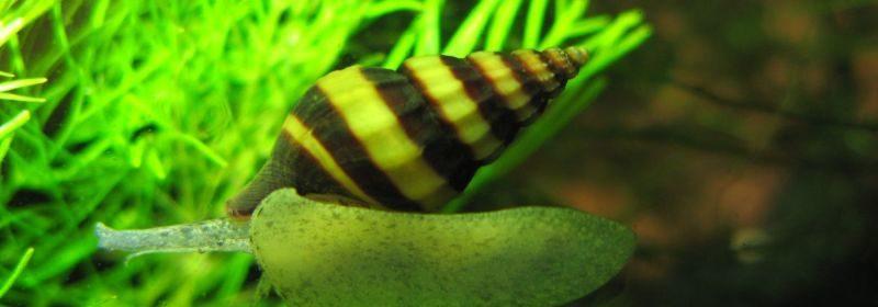 хелена аквариумная улитка