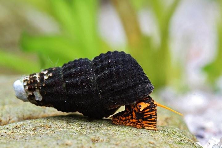 Тиломелания: содержание,размножение,совместимость,фото,описание