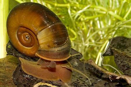 Катушка аквариумная улитка: содержание,размножение,совместимость,описание,фото
