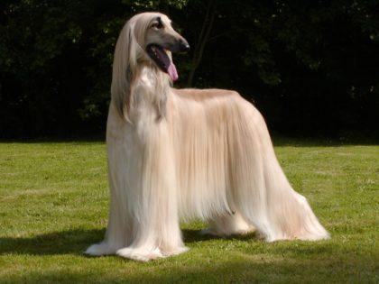 1285579798_1600x1200_afghan-hound