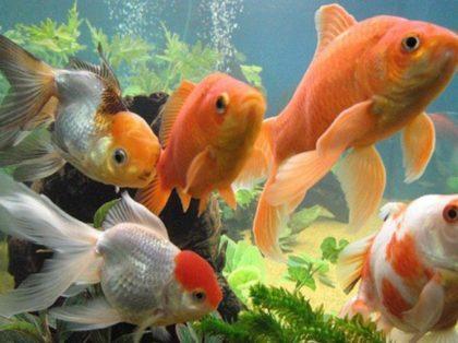 1392272872_zolotye-rybki