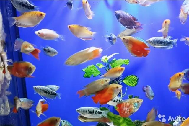 Лабиринтовые аквариумные рыбки: виды, содержание, описание, фото, размножение, совместимость
