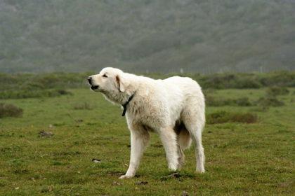 akbas-akbash-dog-ozellikleri-2