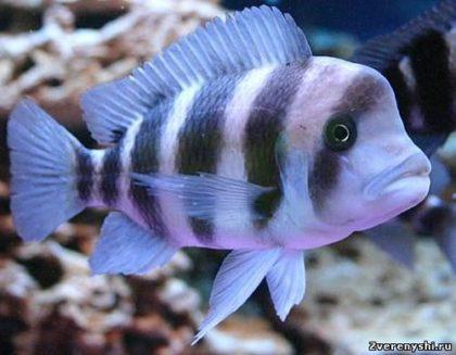 akvariumnye_rybki-frontoza