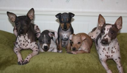 american-hairless-terrier-big-family-1024x588