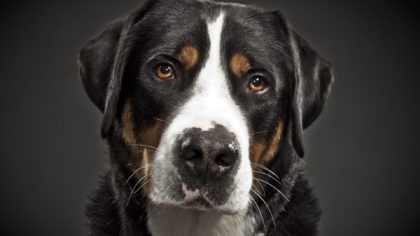 animals___dogs_portrait_of_great_swiss_mountain_dog_050980_23