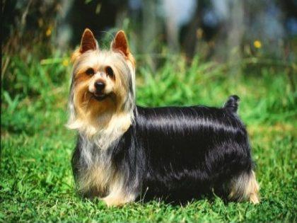 australian-silky-terrier-wallp-1