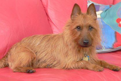 australian-terrier-resting-wallpaper-1389x926