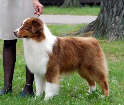 white-and-brown-australian-shepherd-dog-outside-picture