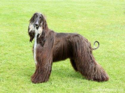 afghan-hound-10