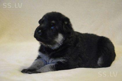 animals-dogs-vostochnoevropeiskaya-ovtcharka-6509545-800