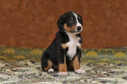 appenzeller-puppy-2008-12