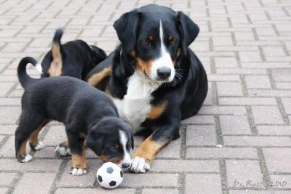 appenzeller_sennenhund_09