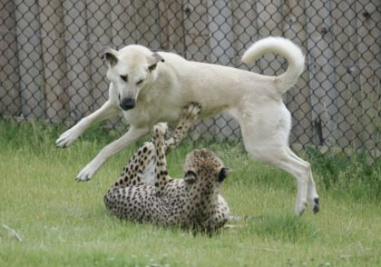 MEET ALEXA AND SAHARA, THE DOG AND THE CHEETAH THAT ARE BEST FRIENDS