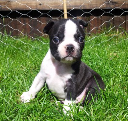 beautiful-boston-terrier-puppies-for-sale-5227266caf605