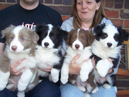 border-collie-pups-8017
