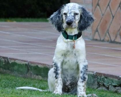 english-setter-puppies