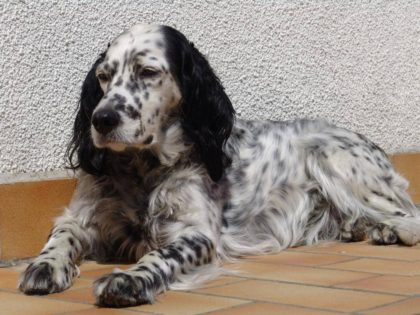 original_english-setter-dog-rest-on-the-floor-photo