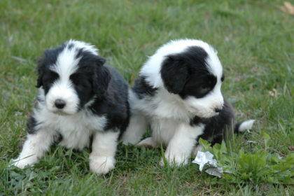 taigan-two-cute-bearded-collie-puppies-breed
